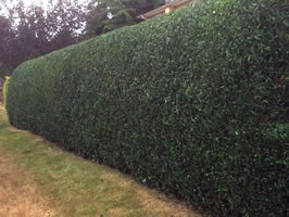 well pruned hedge, eh